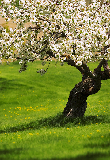 White blossoming tree in peaceful meadow