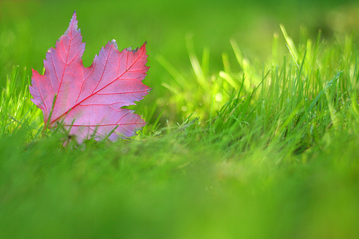red maple-leaf on green grass,