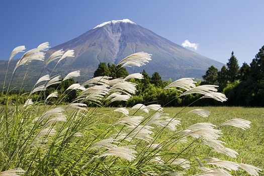 Japanese plume grass swaying in the wind with Mt. Fuji in the background