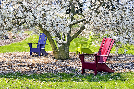Three brightly colored adirondak chairs under a blossoming White Star Magnolia tree. Sunny spring day.