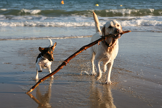 Dogs playing with a stick on the beach.