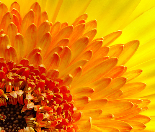 Closeup of gerbera daisy