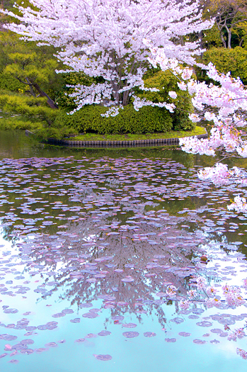 Cherry Blossoms and reflecting pool in Japan