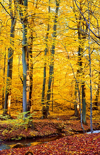 Yellow-leaved trees in Autumn