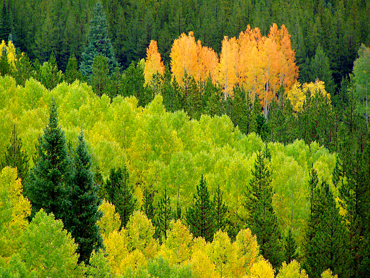 orange aspen grove along the Million Dollar Highway, Colorado