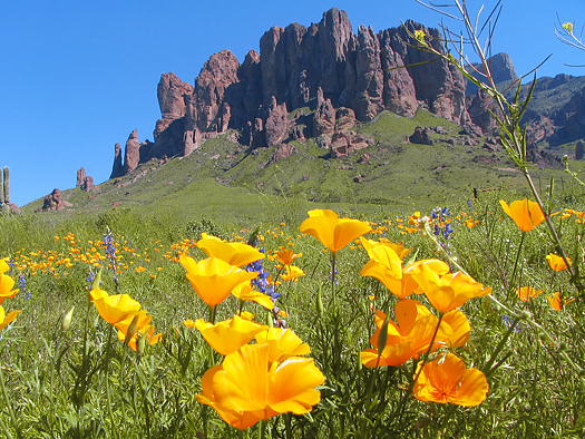 Wildflowers on Superstition Mountain
