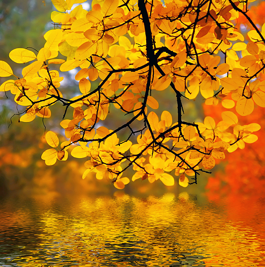 Closeup of yellow Autumn leaves above a lake
