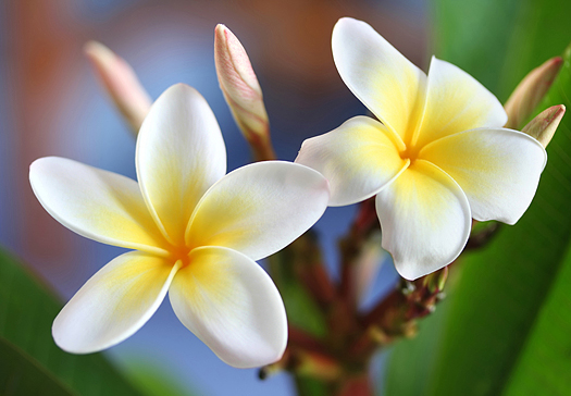 Glorious frangipani (plumeria) closeup, in natural light.