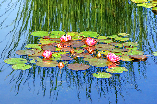 Pink water lilies upon a reflecting pool.