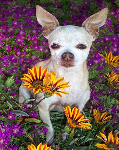 Dog amongst flowers