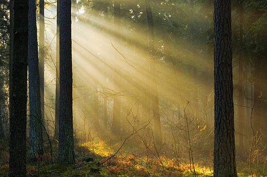 Early morning sunrise through forest trees