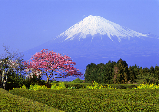 Mount Fuji in Springtime