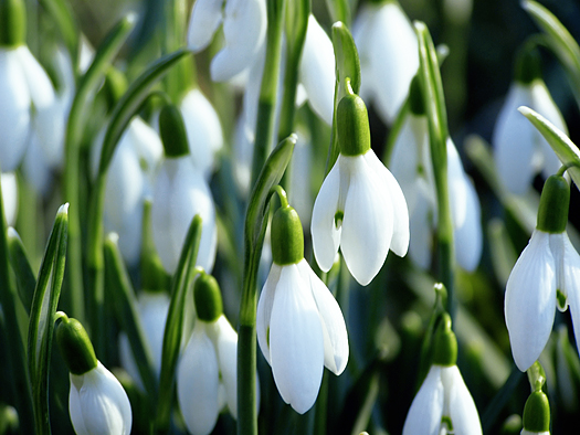 Close-up of white snowdrops