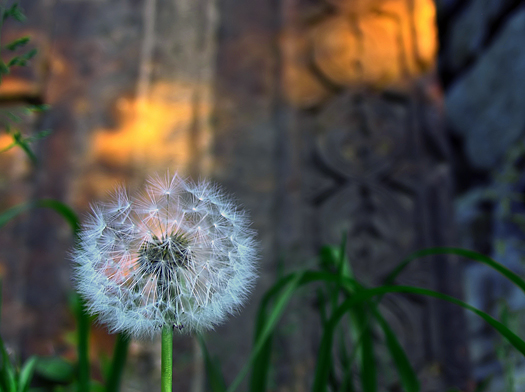 Delicate dandelion seed pods