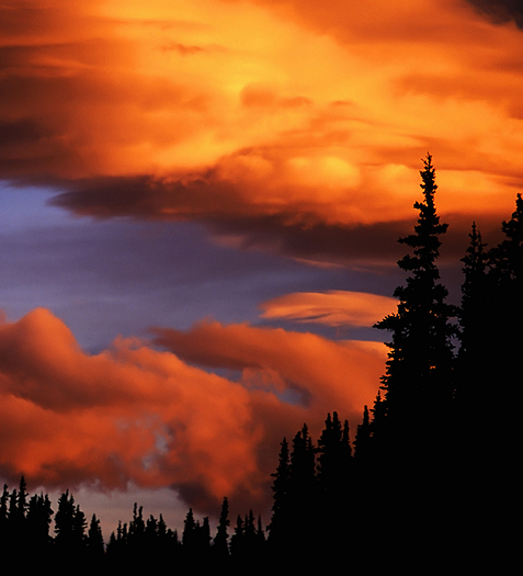 Red sunset in the spruce forest.