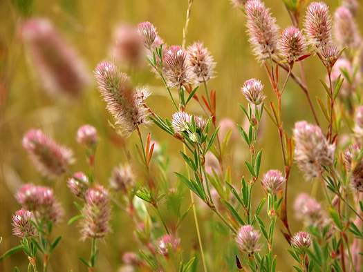 Meadow with closeup pink wild flowers