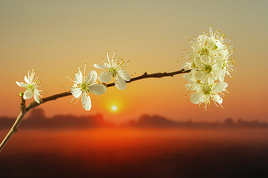 Close-up of white mirabelle flower against sun at sunset