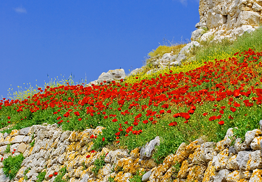 Hillside of red flowers against blue sky