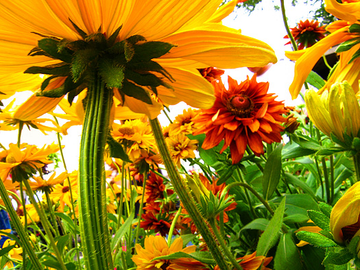 A walk in the land of the giants - colorful flowers photographed from the ground