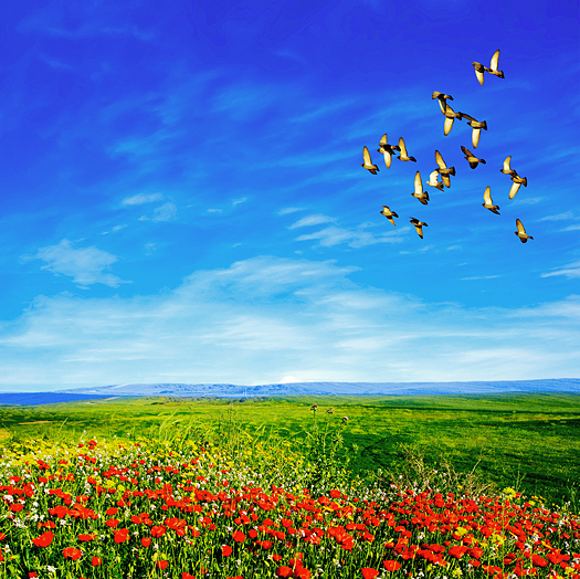 landscape view of a field of red poppies, grss, distant hills, blue sky and a flock of birds in flight