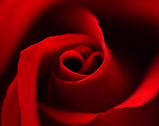 Red rose with heart symbol in center. close-up