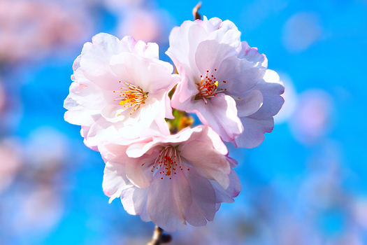 Pink cherry blossoms close up over blue sky