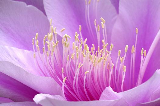 broad-leaved epiphyllum in bloom