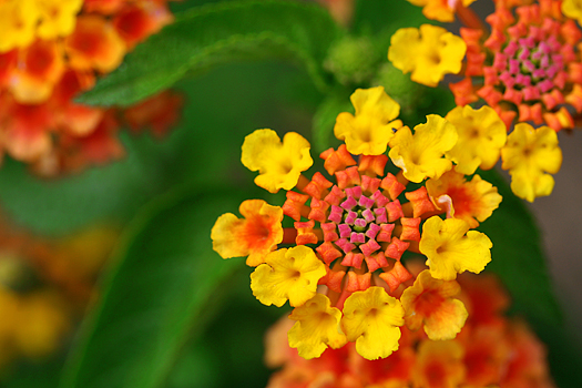 Brightly olored Lantana flower close up.