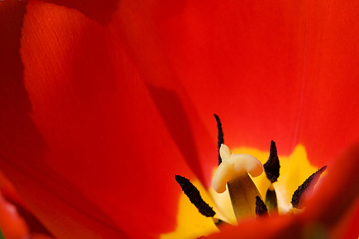 Red tulip detail