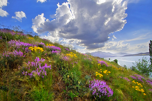 Dramatic clouds and blue sky with hillside of flowers in the foreground