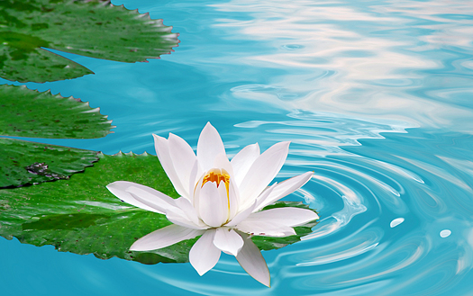 beautiful white waterlily in clear blue pond