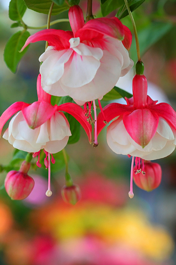 Close up shot of beautiful pink and white flowers