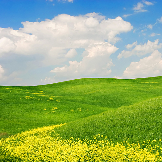 Landscape : Green field with yellow flowers, blue sky and big white fluffy clouds. Tuscany, Italy