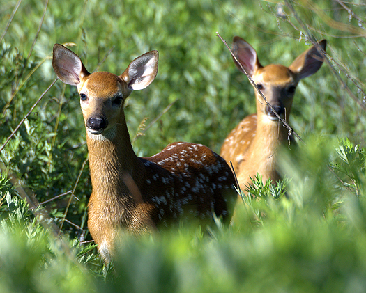 Two whitetail deer fawns in a field.