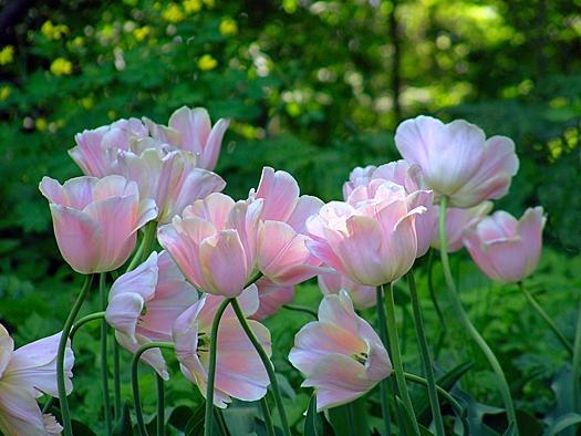 Pink tulips in university garden