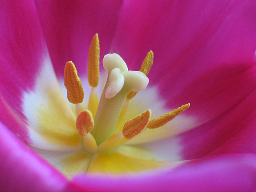 Close up of the inside of a pink  tulip