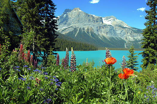 Flowers bordering Emerald lake, Yoho national park, British colombia, Canada.