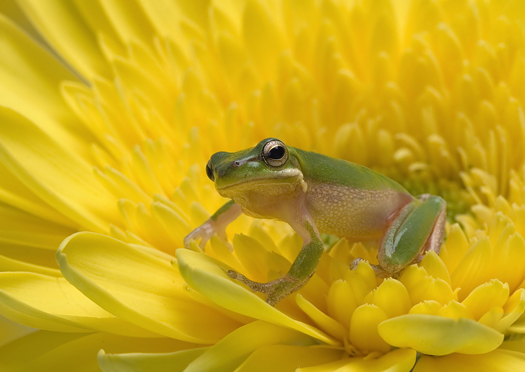 Green frog on yellow flower