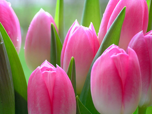 Close up of pink tulips