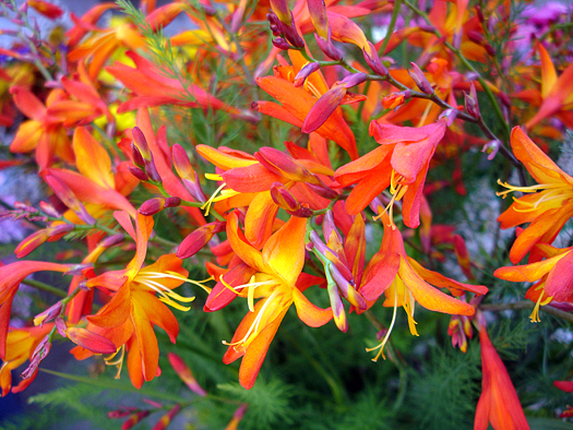 Crocosmia flowers of yellow and pink