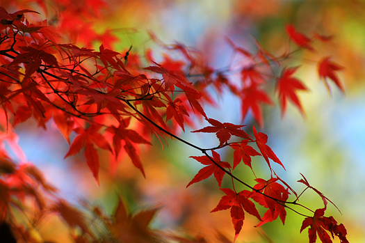 Close up of Japanese maple with red leaves
