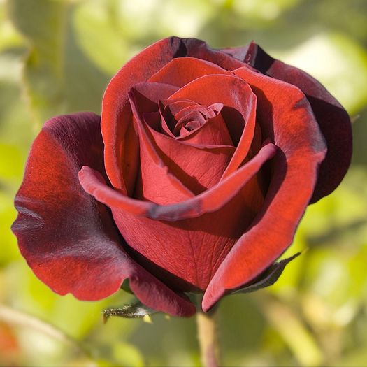 Award winning tea rose called Black Magic from the best of the breeds collection.
