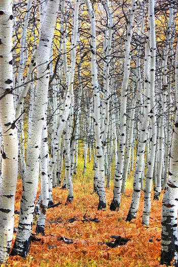 Autumn Aspen Tree Path