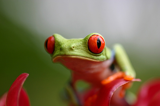Funny green frog with big red eyes
