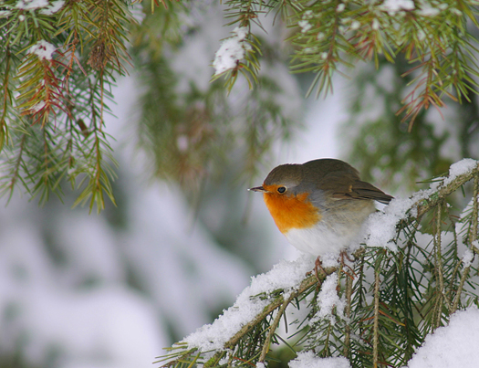 Robin on a snowy tree branch