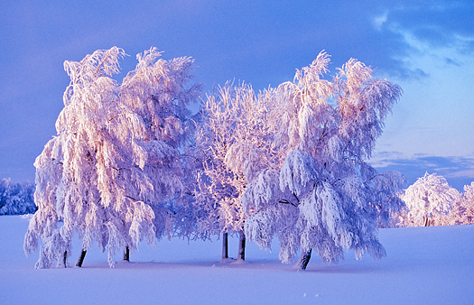 Snow covered trees at dusk on the field