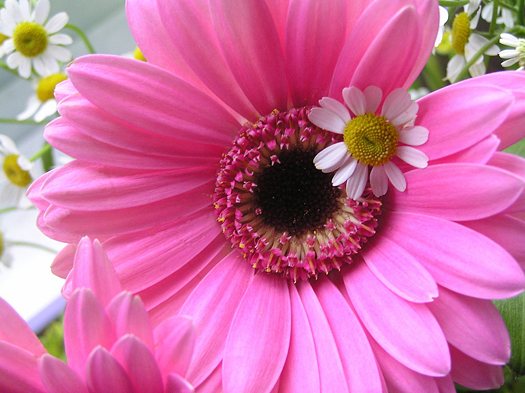 photograph of a beautiful bright pink gerbera flower surrounded by tiny little chamomile flowers