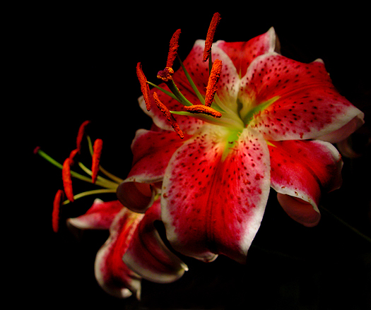 Red stargazer lilies stand out on black