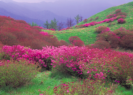 Mountain lanscape with pink-flowered bushes in foreground