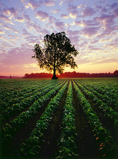 Sunrise over bean field with a single silhouetted tree
